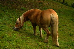 Gelding. On the pasture is herding Royalty Free Stock Photo