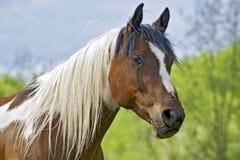 gelding pinto стоковые фотографии rf