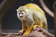 Gele aap royalty-vrije stock afbeelding