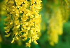 Gele acacia Royalty-vrije Stock Foto