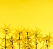 Gele achtergrond met forsythiabloemen Stock Foto
