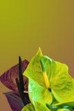 Gele achtergrond met twee kleuren van callas Stock Afbeeldingen