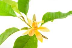 Gele Alba Michelia geïsoleerd op wit Stock Afbeeldingen