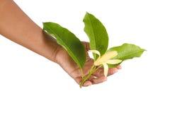 Gele alba x Michelia champaca van Michelia, Thailand Stock Fotografie