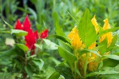 Gele amaranthus Stock Foto