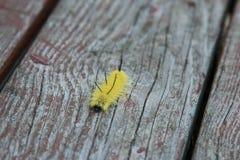 Gele Amerikaanse Dagger Moth-rupsband stock foto