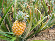Gele ananas Royalty-vrije Stock Afbeelding