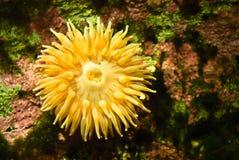 Gele anemonefish Royalty-vrije Stock Foto's