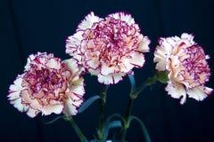Gele anjerbloem Royalty-vrije Stock Afbeelding