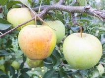 Gele appel op boomtak Stock Foto's
