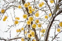 Gele appelen op een boom in de sneeuw in de winter royalty-vrije stock afbeeldingen