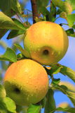 Gele Apple-Boom stock fotografie