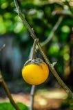 Gele aubergine Stock Afbeelding
