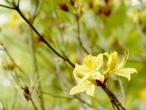 Gele azalea in de botanische tuin Royalty-vrije Stock Afbeeldingen