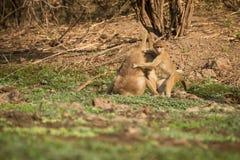 Gele bavianenbaby Royalty-vrije Stock Foto's