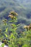 Gele begonia stock fotografie