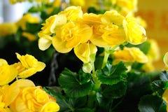 Gele begonia Royalty-vrije Stock Fotografie