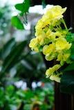 Gele begonia Stock Foto's