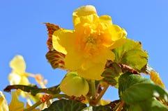 Gele begoniabloem in de zomer Stock Foto's