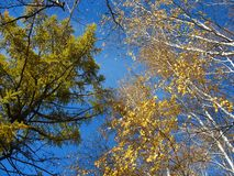 Gele berk en groene lariksbovenkanten tegen blauwe hemel Royalty-vrije Stock Foto's
