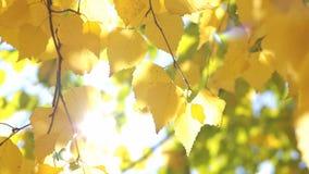 Gele berkbladeren stock video
