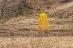 Gele berkboom op de helling royalty-vrije stock foto's