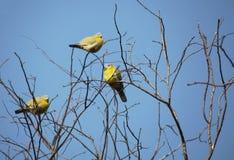 Gele betaalde groene duiven Royalty-vrije Stock Foto's