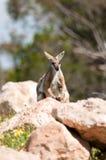Gele betaalde rotswallaby Stock Fotografie