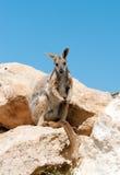 Gele betaalde rotswallaby Royalty-vrije Stock Foto's