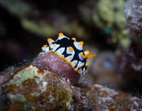 Gele bevlekte Nudibranch Royalty-vrije Stock Afbeelding