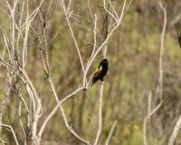 Gele Bischop Finch stock foto