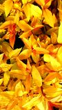 Gele bladachtergrond Royalty-vrije Stock Afbeelding