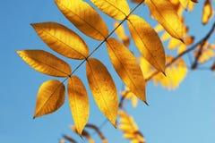 Gele bladeren Stock Afbeeldingen