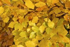 Gele bladeren. stock afbeeldingen