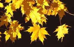 Gele bladeren Royalty-vrije Stock Afbeelding