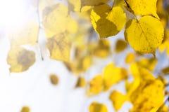 Gele bladeren Stock Afbeelding
