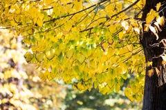 Gele bladeren Stock Fotografie