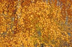 Gele bladeren. De boom van de berk. Royalty-vrije Stock Afbeeldingen