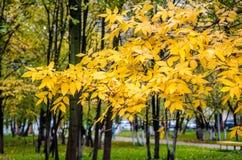 Gele bladeren, de herfst Royalty-vrije Stock Afbeeldingen