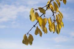 Gele bladeren, de herfst Stock Foto's