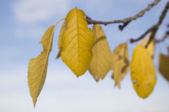 Gele bladeren, de herfst Stock Fotografie
