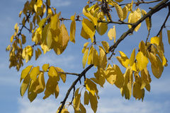Gele bladeren, de herfst Stock Foto