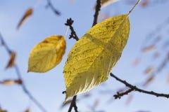 Gele bladeren, de herfst Royalty-vrije Stock Foto