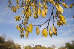 Gele bladeren, de herfst Stock Afbeeldingen