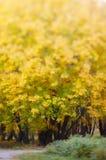 Gele bladeren in de herfstpark Royalty-vrije Stock Fotografie