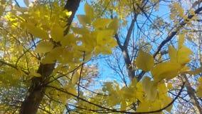 Gele bladeren die in de wind slingeren stock videobeelden