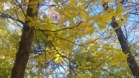 Gele bladeren die in de wind slingeren stock footage