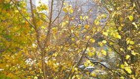 Gele bladeren die van de boom in de herfst vallen stock footage