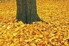 Gele bladeren en boomstam van een suikerahorn Stock Foto's