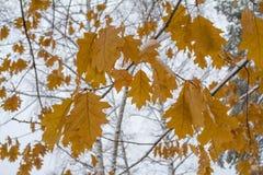 Gele bladeren en sneeuw Royalty-vrije Stock Foto
